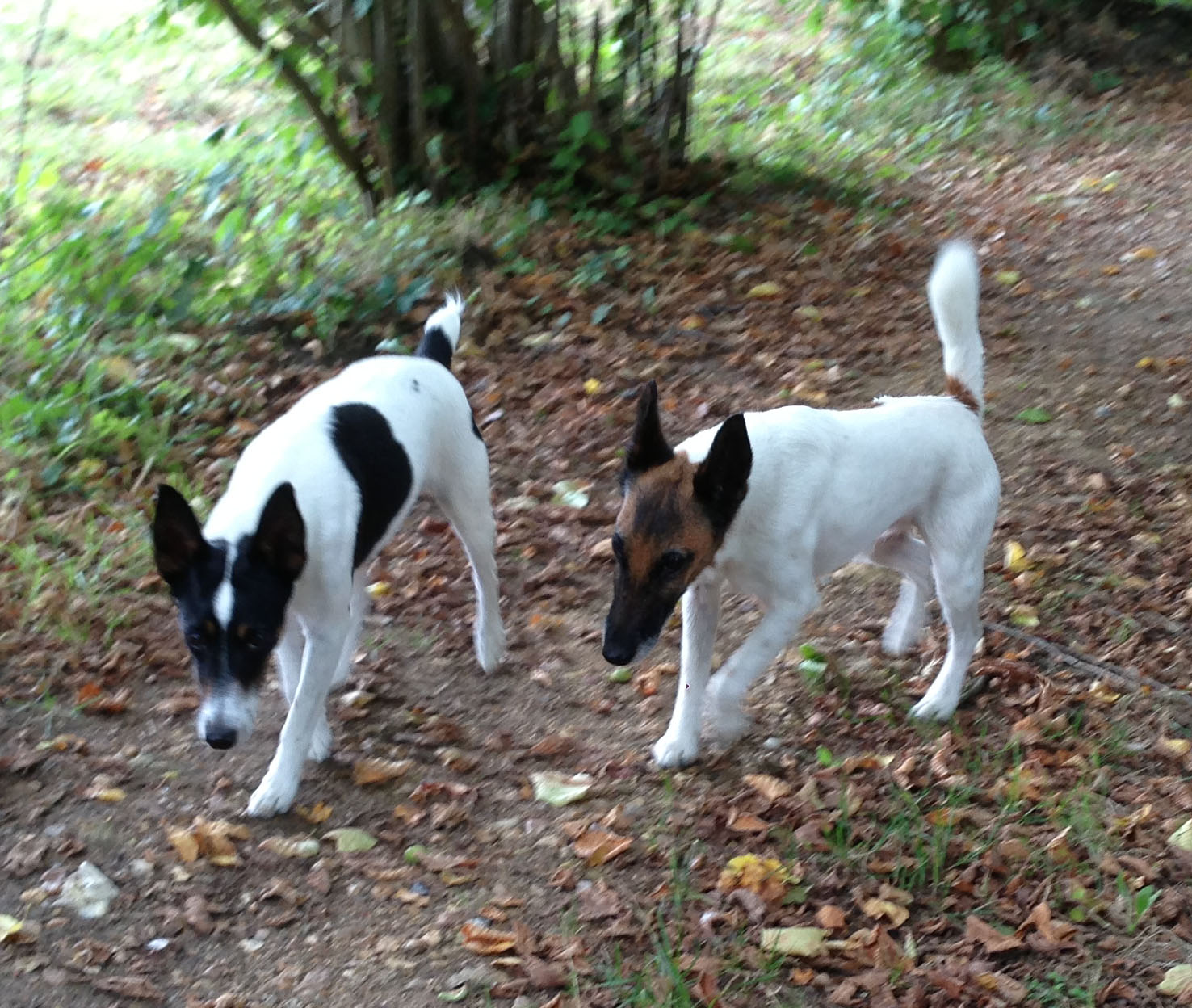 Couple de Fox terriers